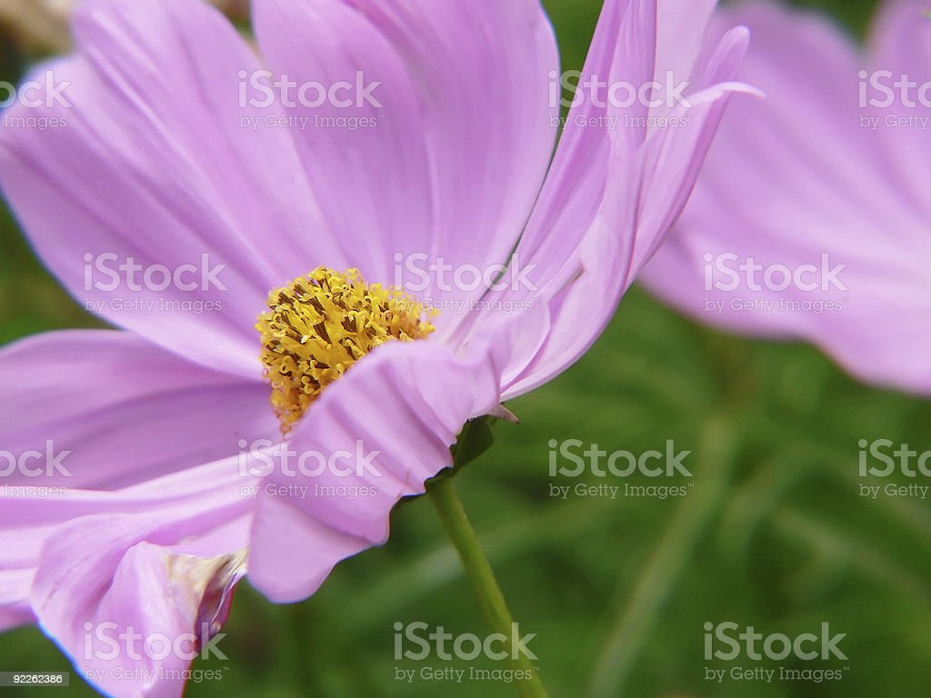 pink and delicte flower stock photo