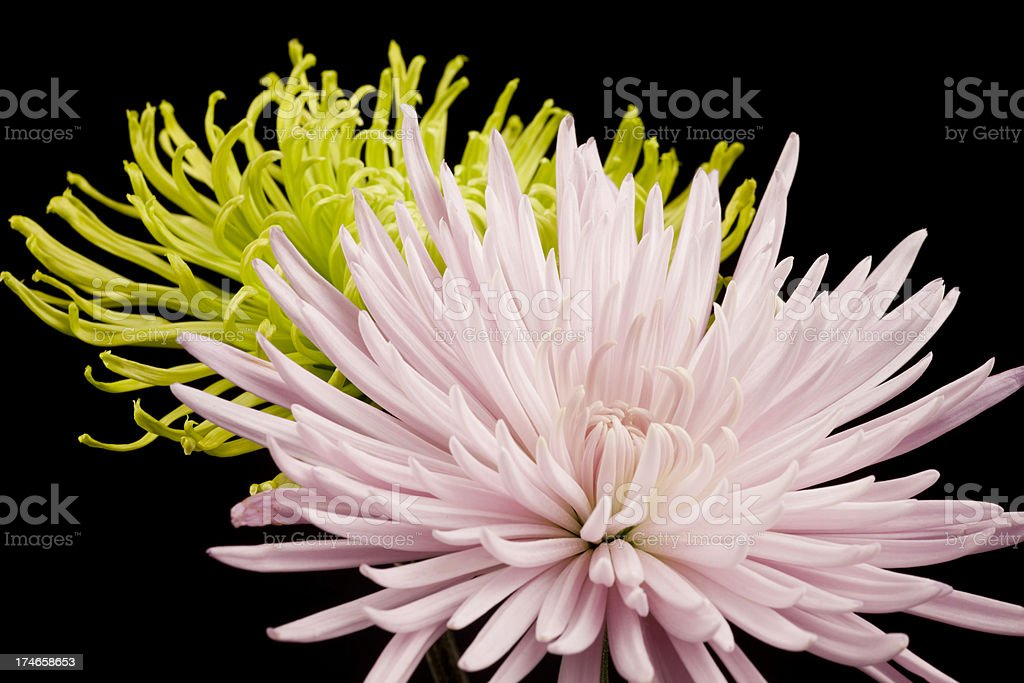 Pink and Green Chrysanthemums, Delicate Flowers, Isolated on Black royalty-free stock photo