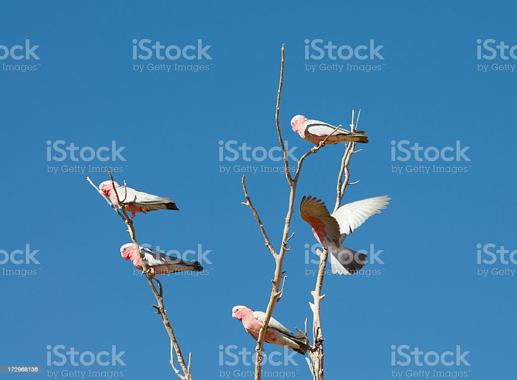 Pink and Grey Galahs in Australia stock photo