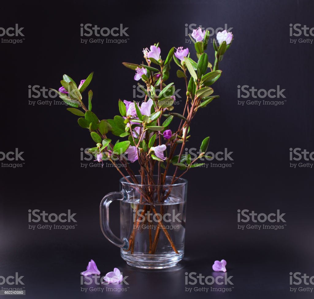 Pink and lilac flowers of a Labrador tea on a black  background stock photo