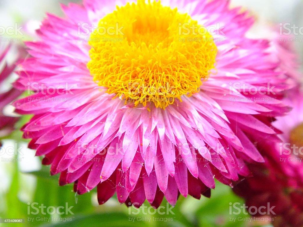 - de-rosa e flor de laranja foto royalty-free