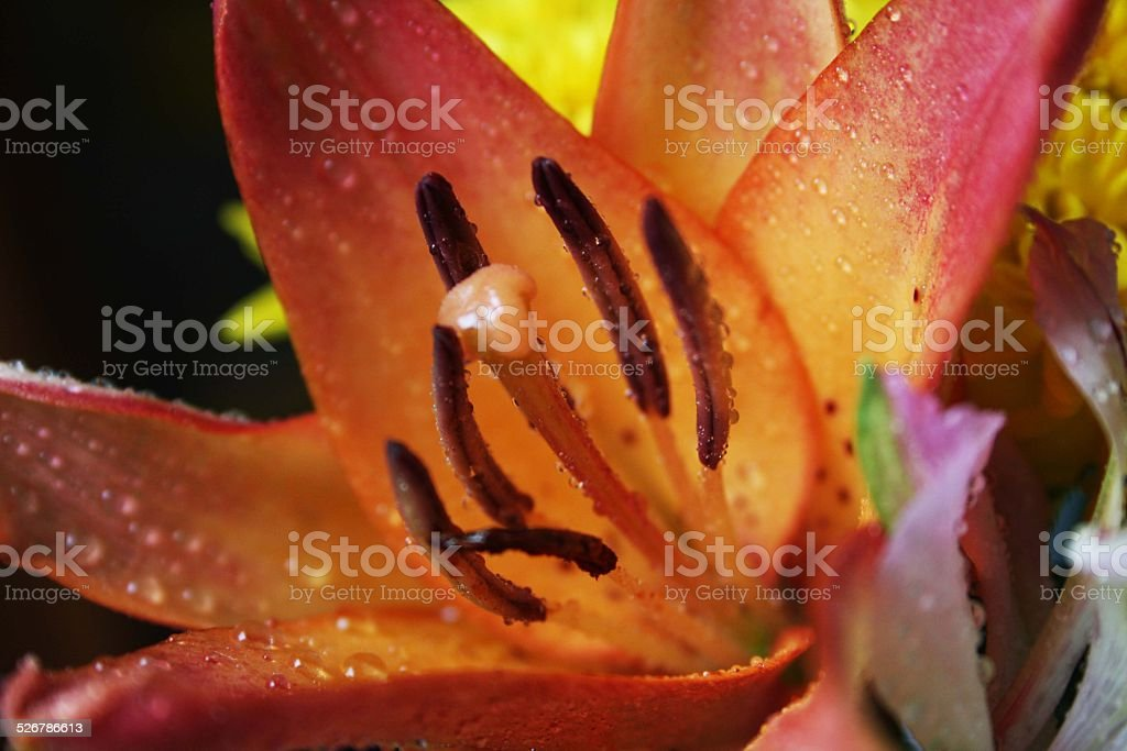 pink and orange flower royalty-free stock photo