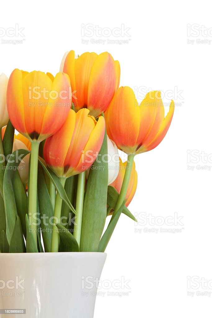Pink and orange ombre tulips in white ceramic pot royalty-free stock photo