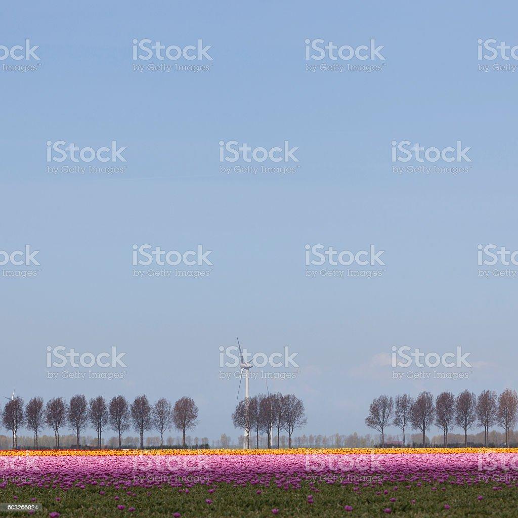 pink and orange tulips with trees plus wind turbine stock photo