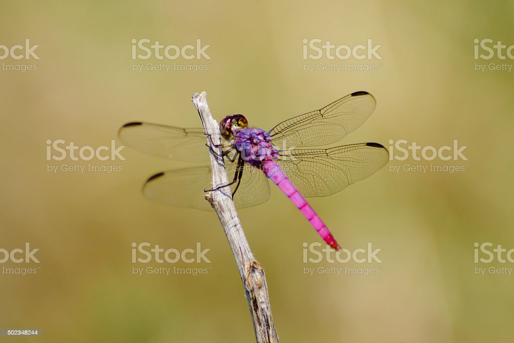 Pink and Purple Dragonfly stock photo