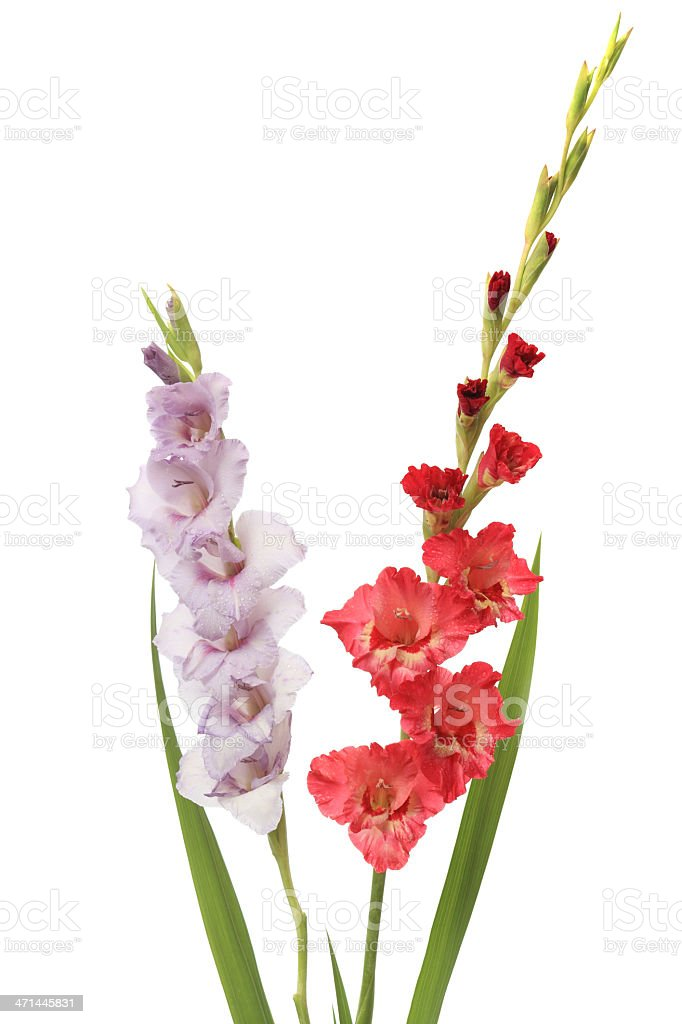 Pink and purple gladiolus isolated on white royalty-free stock photo