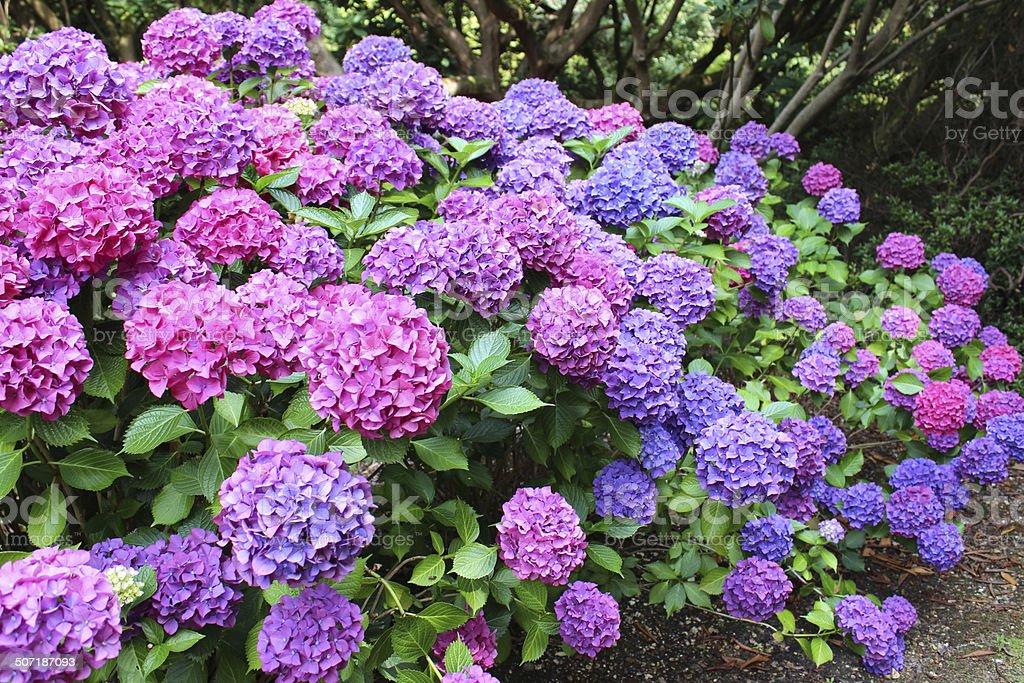 Pink and purple hydrangea flowers, lacecap hydrangea bush, shady garden stock photo