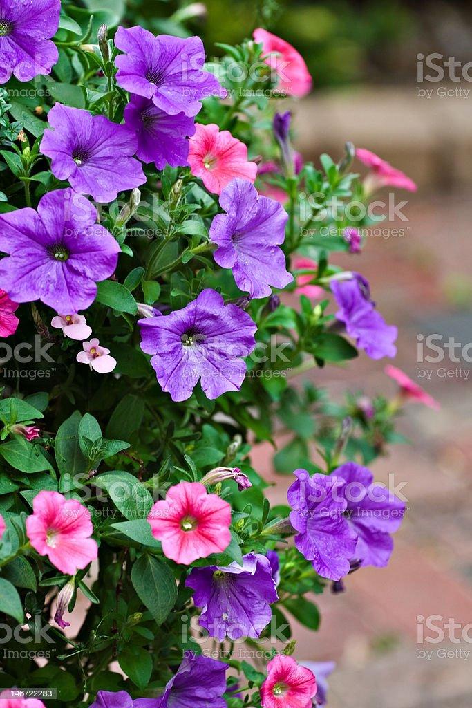 Pink and Purple Pentunias royalty-free stock photo