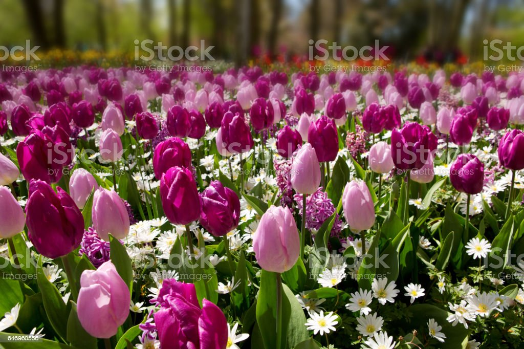 Pink and purple tulips background stock photo