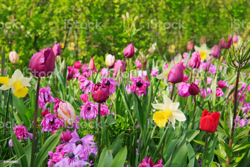 Pink and purple tulips in the spring garden stock photo
