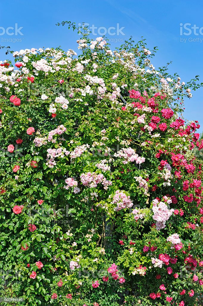 Pink and red climbing roses stock photo