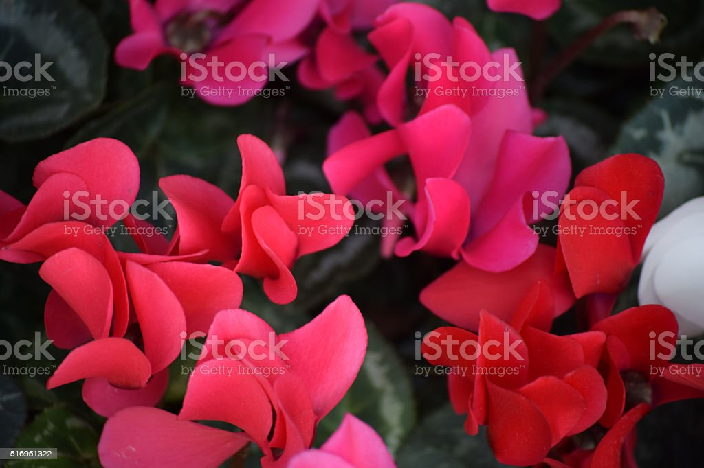 Pink and Red Cyclamen stock photo