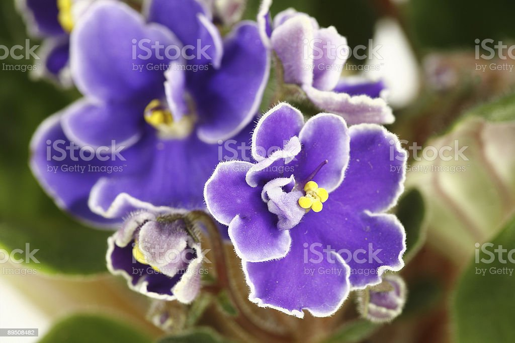 pink and violet flower of saint paulia on green leafs stock photo
