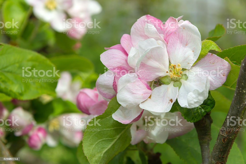 Pink and white apple blossom flowers on a branch stock photo