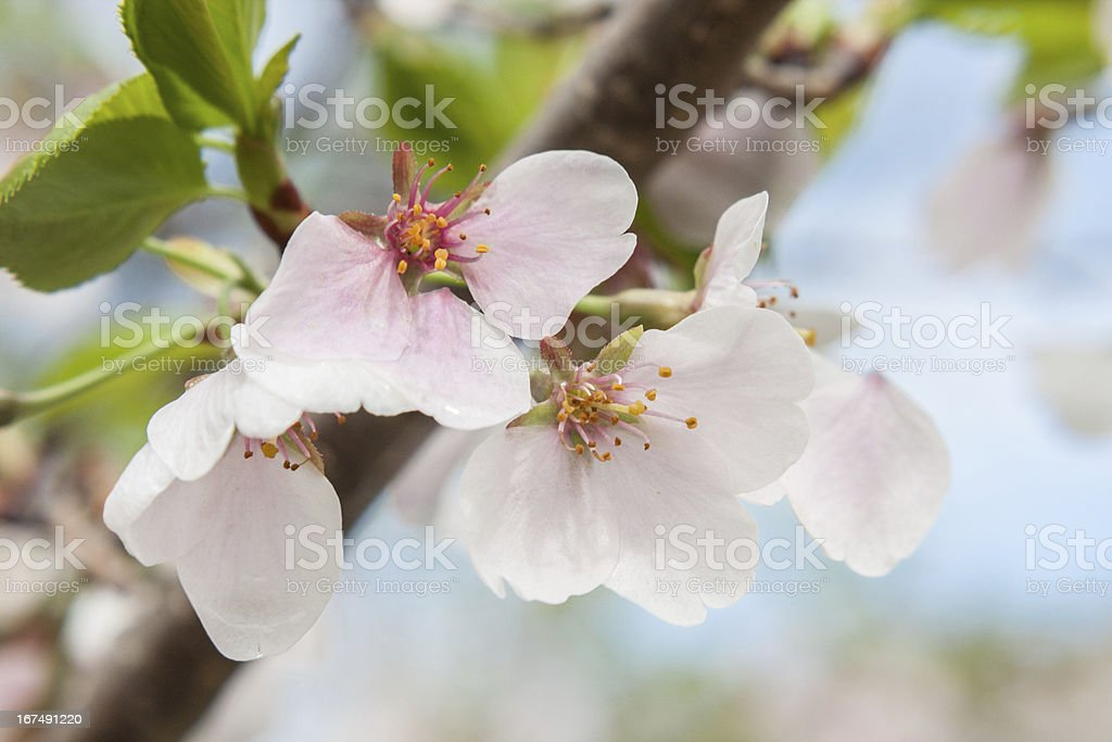 Pink and White Apple Blossoms royalty-free stock photo