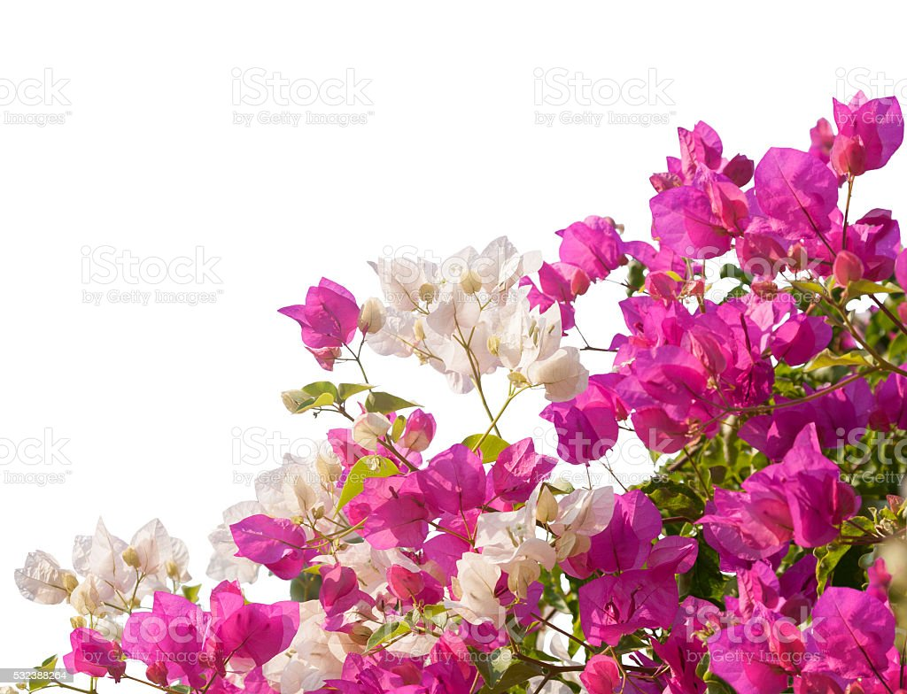 Pink and white blooming bougainvilleas. stock photo