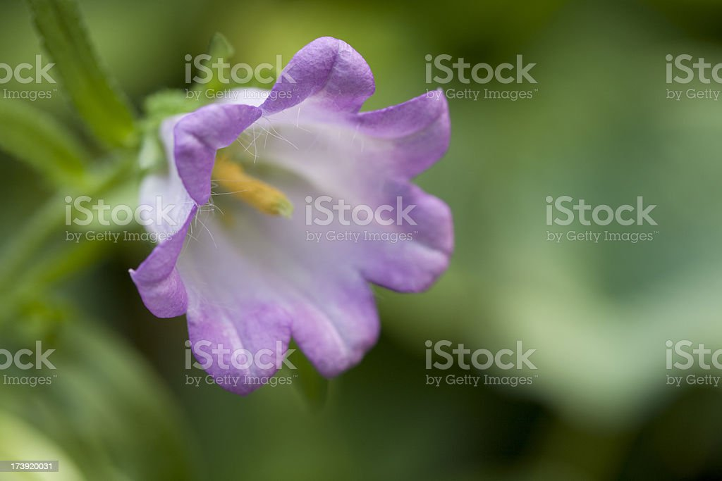 Pink and White Canterbury Bell royalty-free stock photo