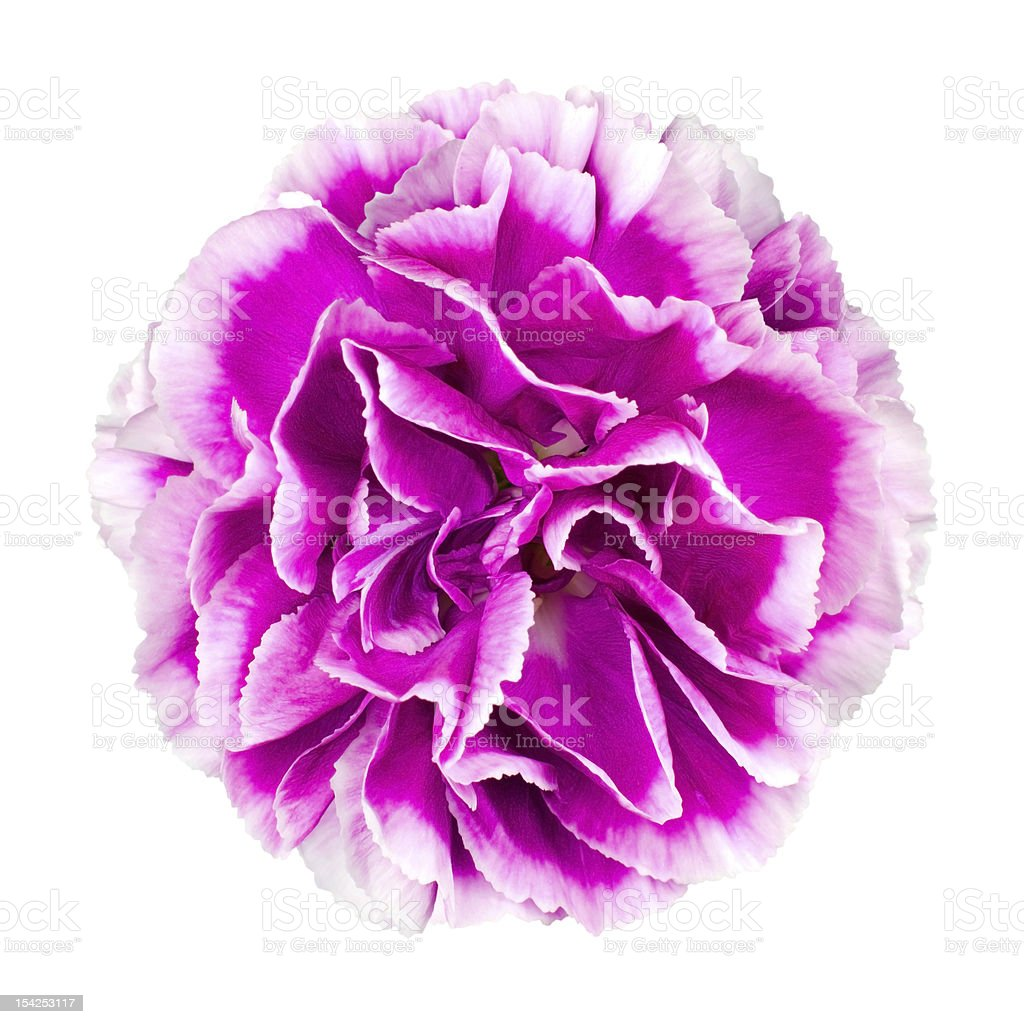 Pink and white Carnation Flower Isolated stock photo