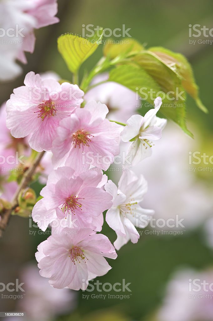 pink and white cherry blossom royalty-free stock photo