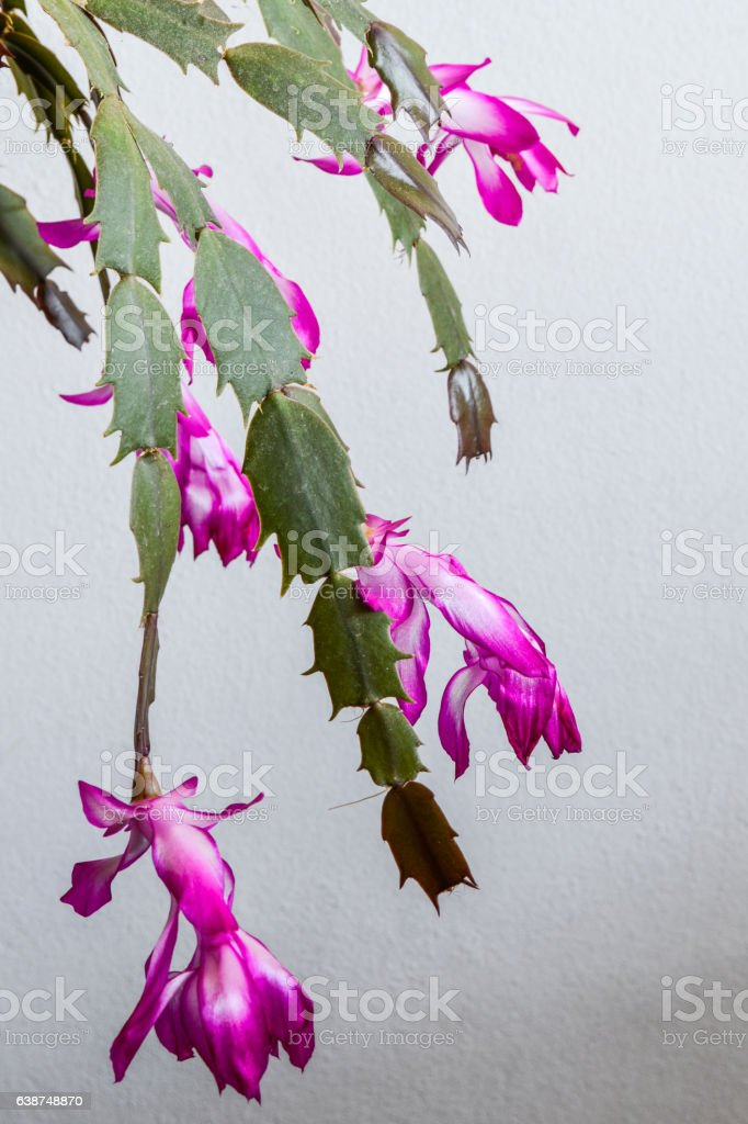 Pink and White Christmas Holiday Cactus flowers close up stock photo