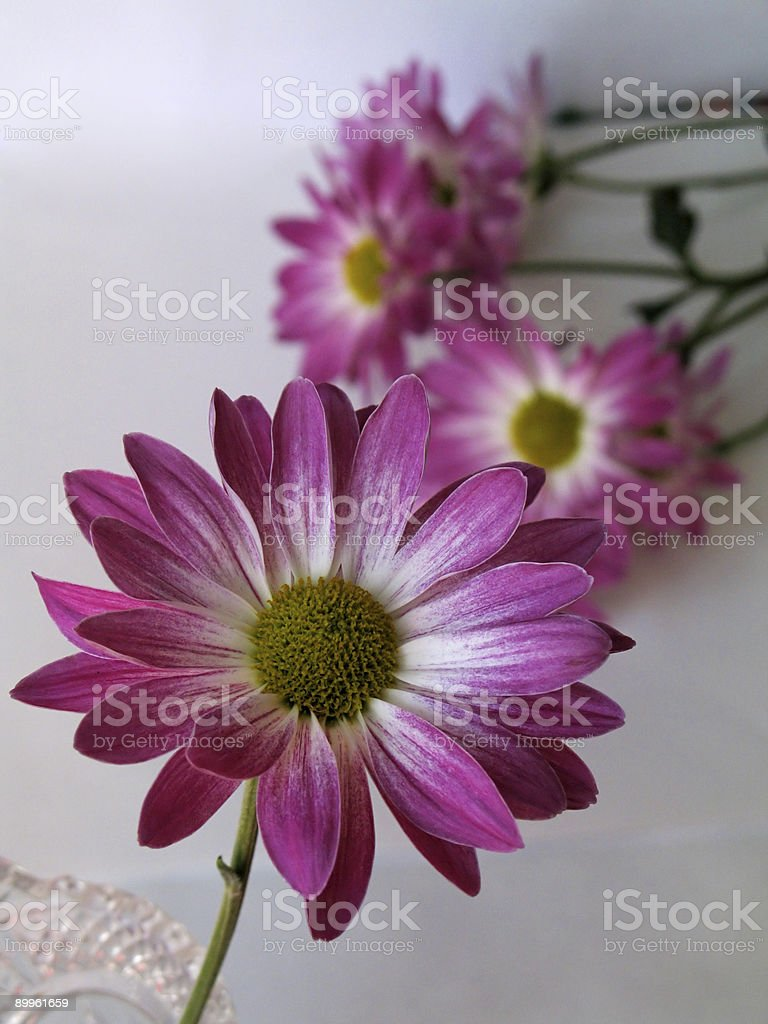 Pink and White Daisy royalty-free stock photo