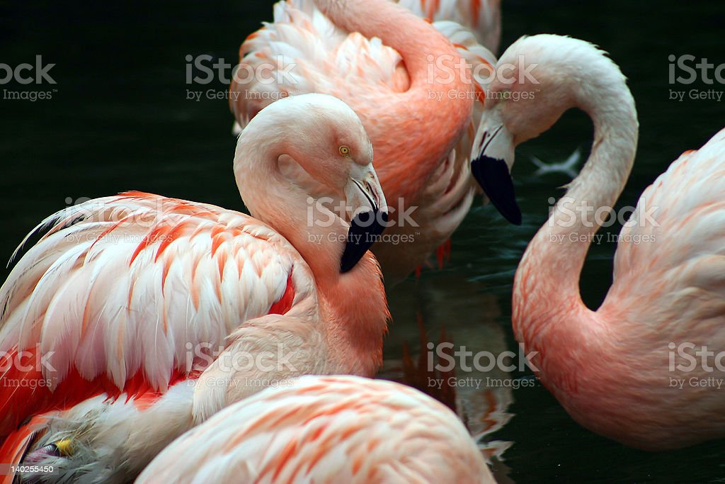 Pink and white flamingos grooming themselves stock photo