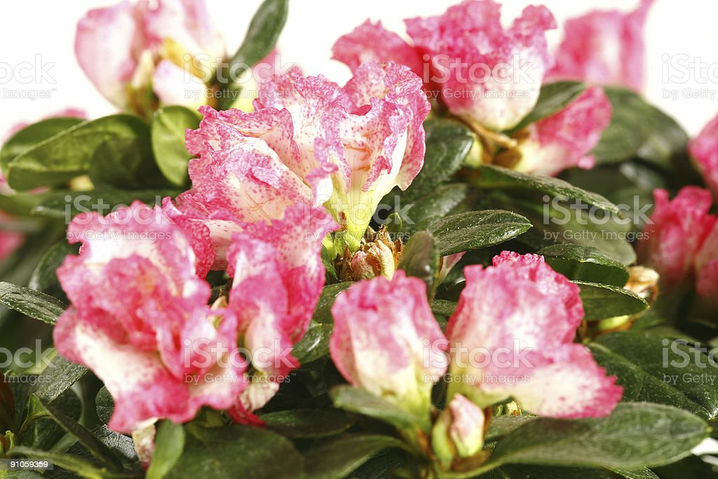pink and white flower of azalea on green leafs stock photo