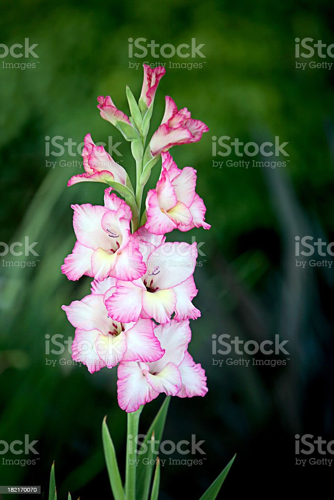 Pink and white gladiolus flowers in bloom stock photo