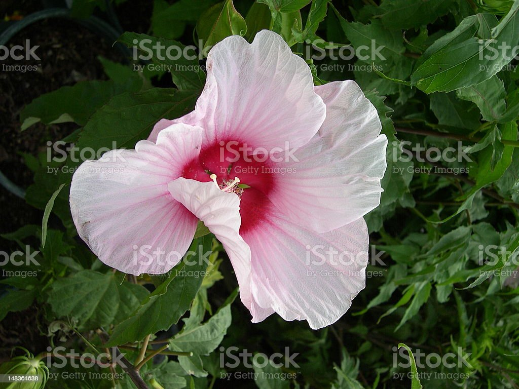 Pink and White Hibiscus Flower royalty-free stock photo