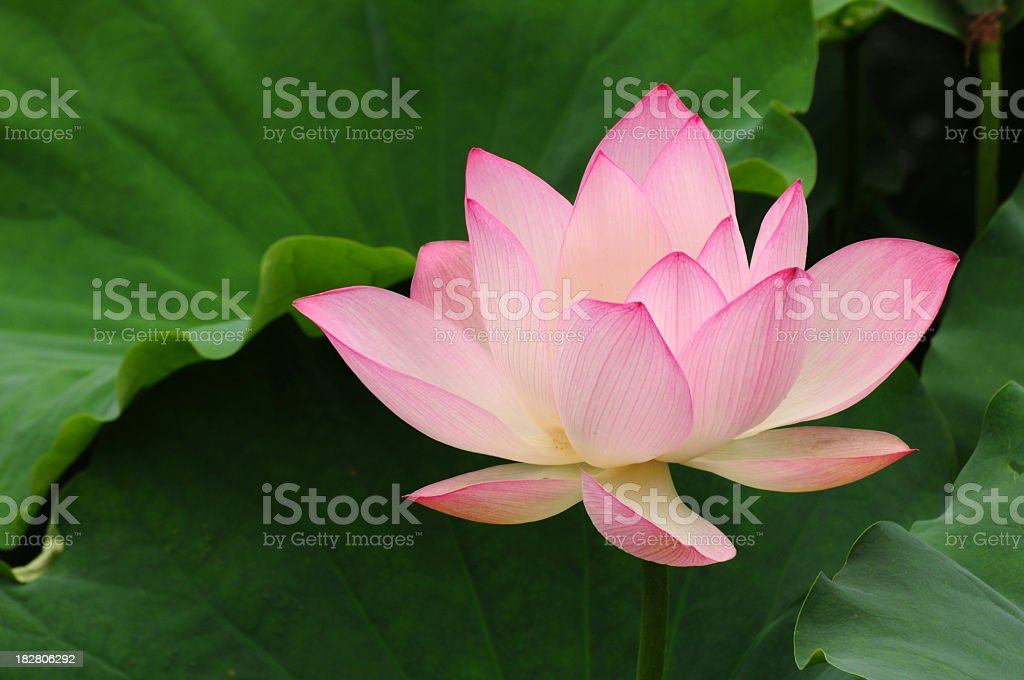 Pink and white lotus flower and green leaves stock photo