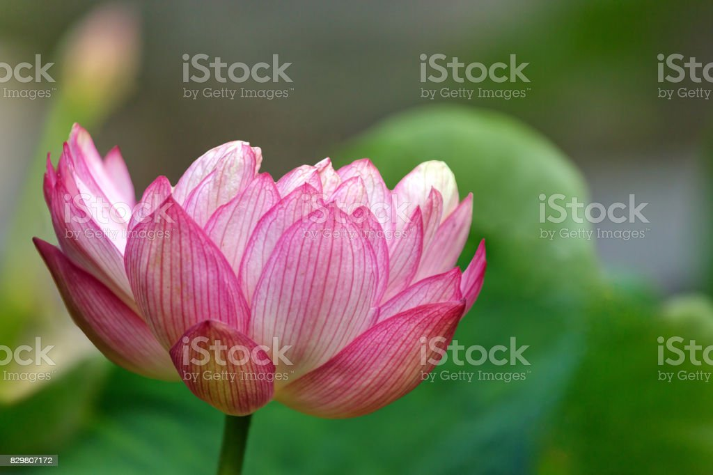 pink and white lotus flower (Chinese waterlily) stock photo