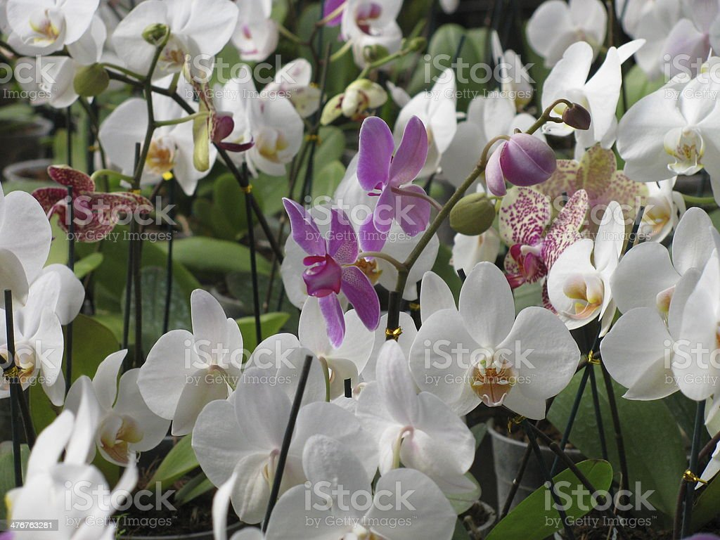 pink and white orchids in a flower garden royalty-free stock photo
