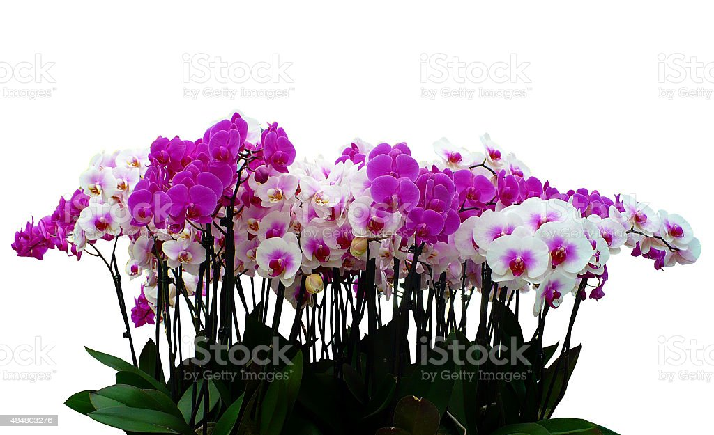 Pink and white orchids in a pot with many flowers stock photo