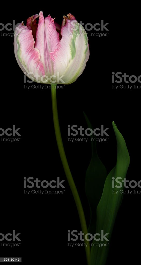Pink and White parrot tulip isolated against a black background stock photo