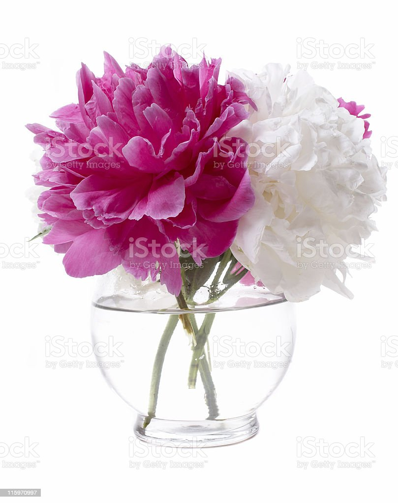 Pink and White Peony royalty-free stock photo