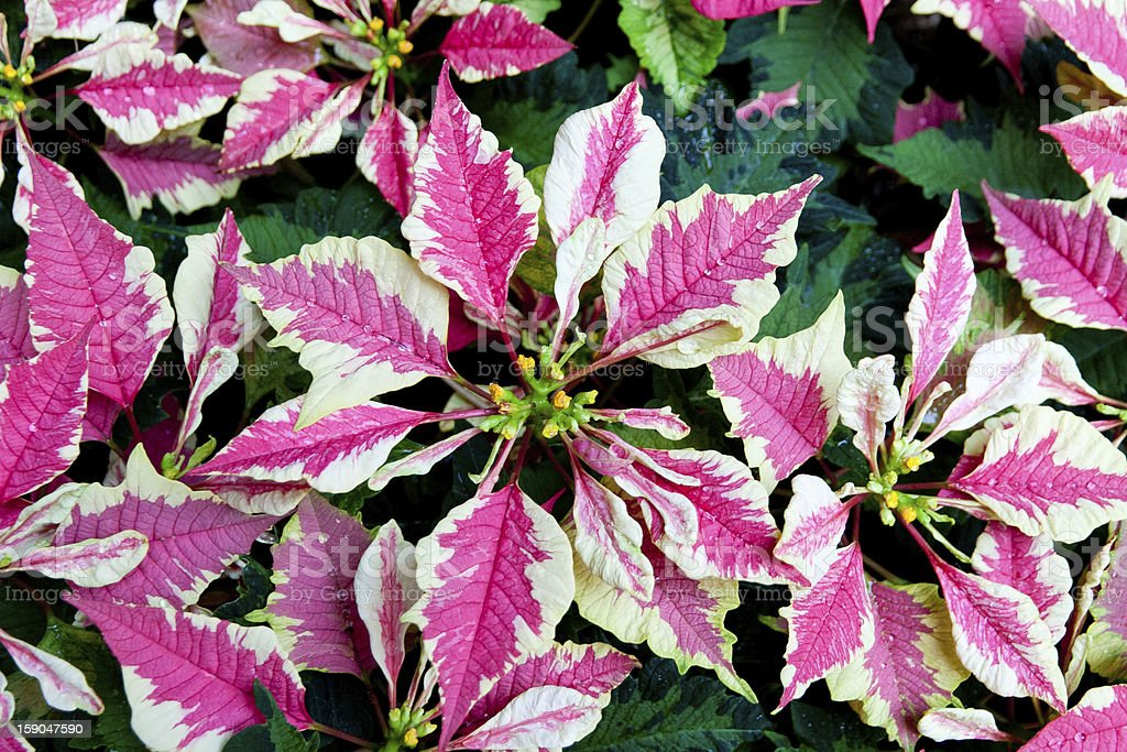Pink and white poinsettias, Christmas flowers royalty-free stock photo