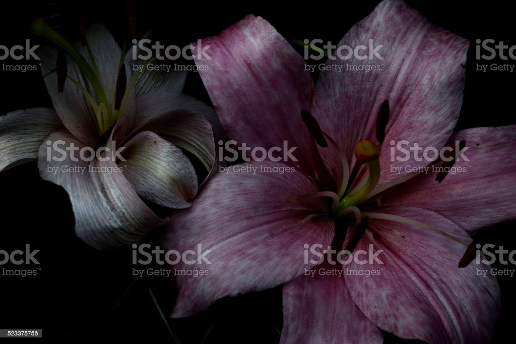 pink and white ribbon efect lilies stock photo