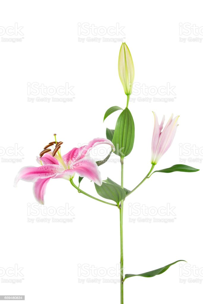 Pink and white Stargazer Lily on white stock photo