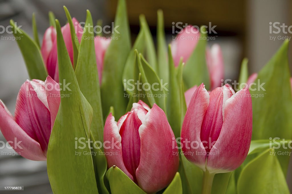 Pink and white tulips with green leaves royalty-free stock photo
