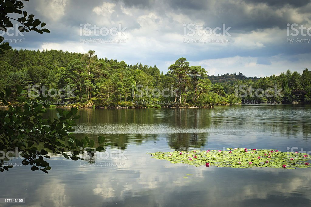 Pink and white water lilies growing wild on Tarn Hows royalty-free stock photo