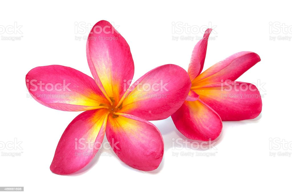 Pink and yellow beautiful, bright Plumeria flowers on white stock photo