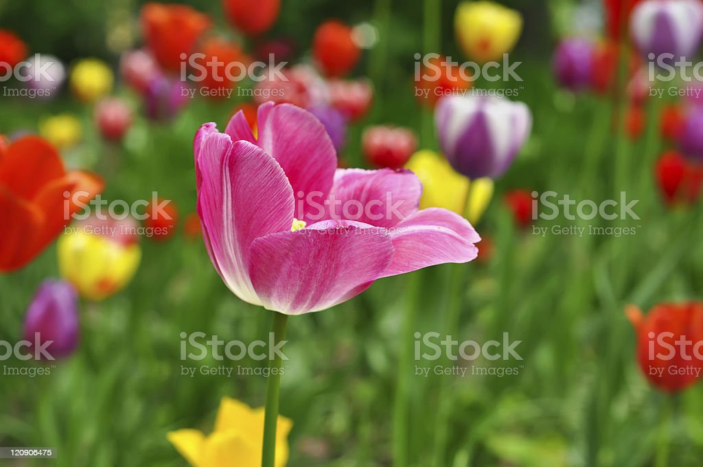 Pink and yellow beautiful tulips royalty-free stock photo