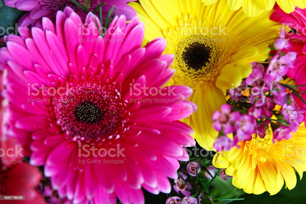 Pink and Yellow Gerber Daisy stock photo