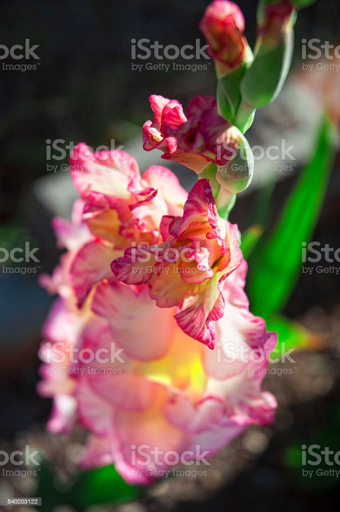 Pink And Yellow Gladiola Flower Macro stock photo