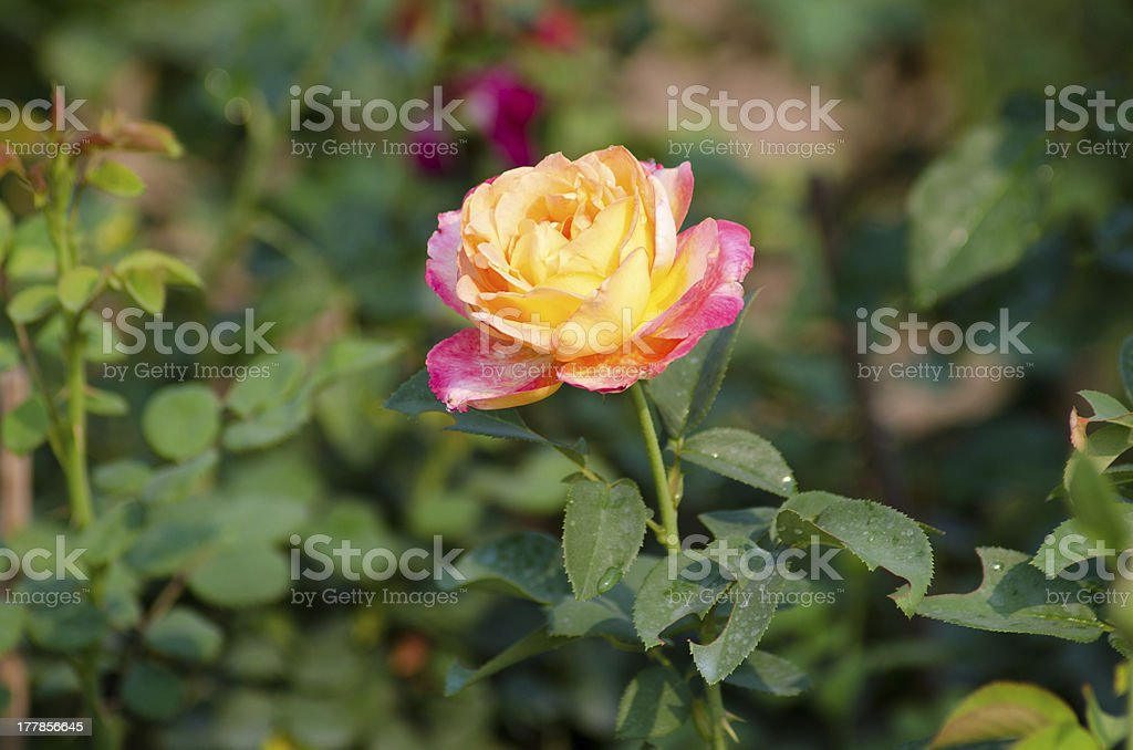 Pink and yellow rose royalty-free stock photo