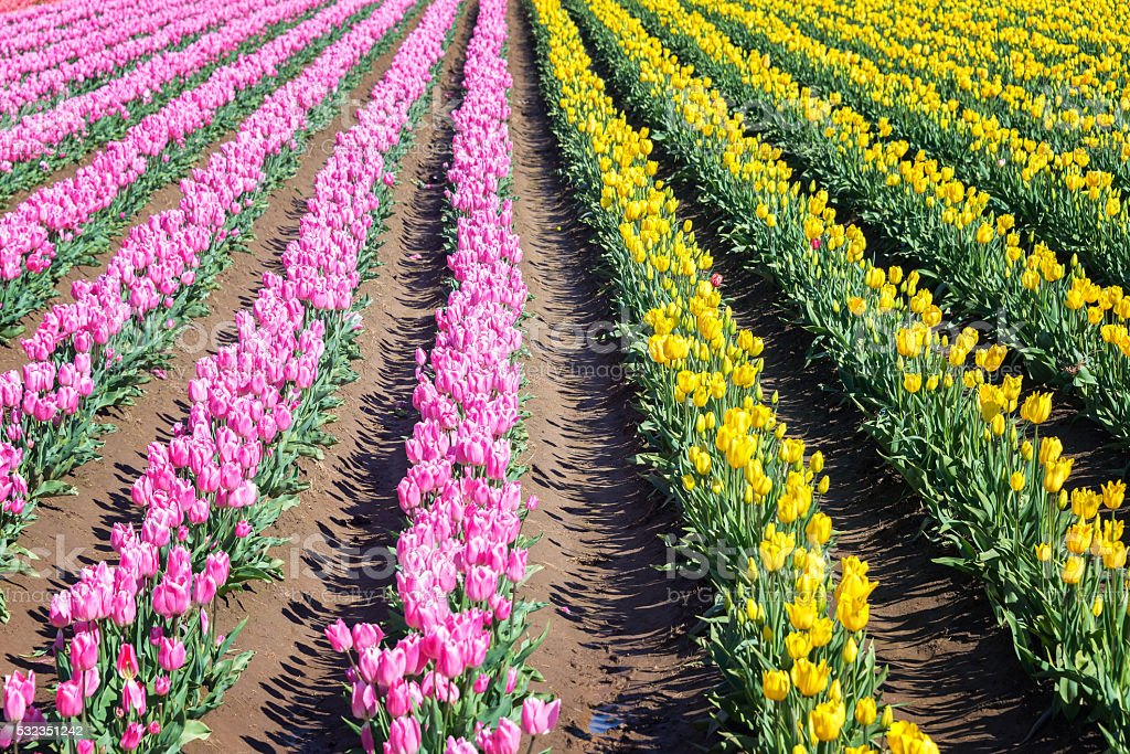 Pink and Yellow Tulip Rows stock photo
