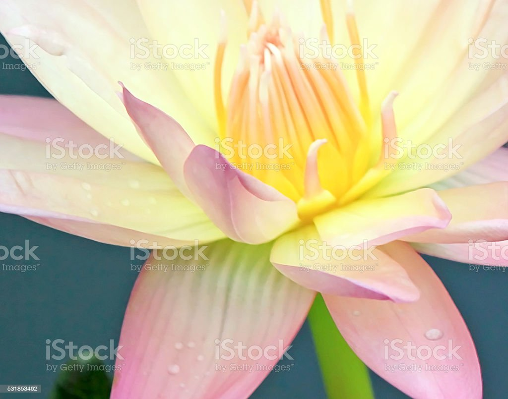 Pink and yellow water lilies, lotus stock photo