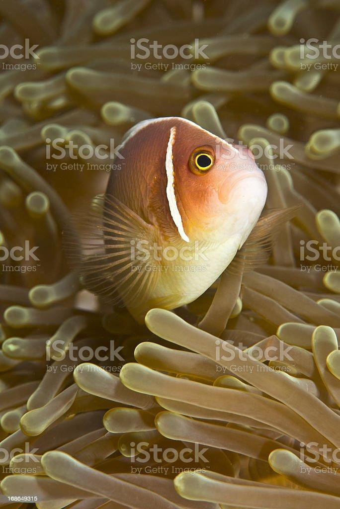Pink Anemone Fish royalty-free stock photo