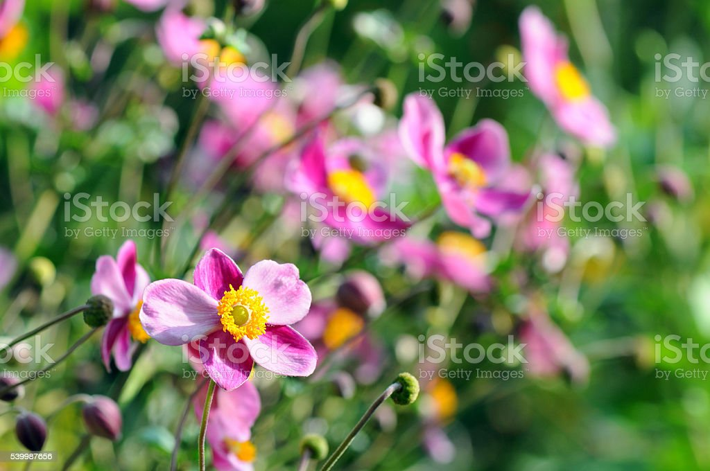 pink anemone flower in autumn time. stock photo