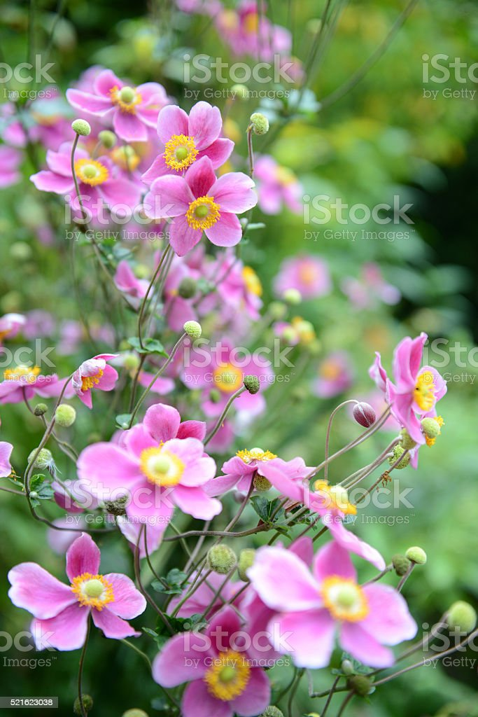 pink anemone flower in summer time. stock photo